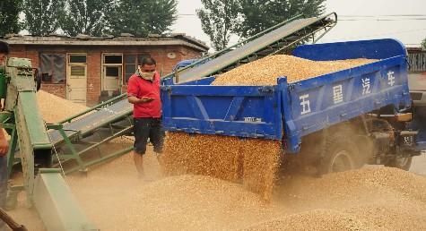图为开元镇代庄子村粮食收购点工作人员查看小麦质量.图片