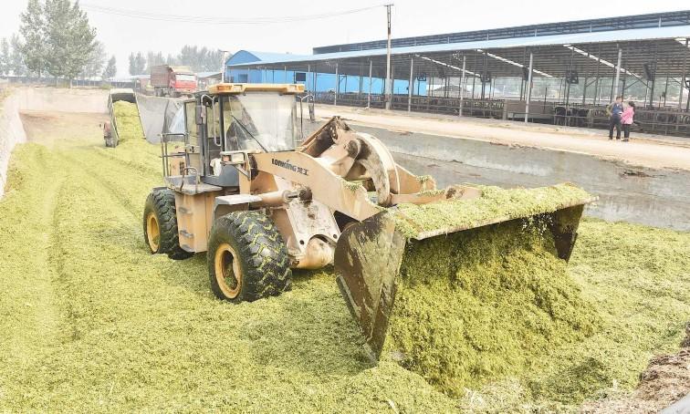 高蓬镇西牛养殖有限公司正在对玉米秸秆进行青贮
