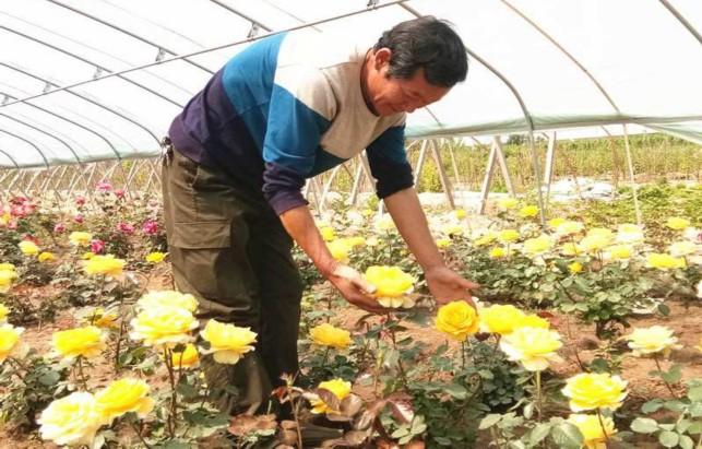 南城区仝家庄月季基地坚持科技引领创,先后培育出莱茵黄金、荣光、红双喜等数十个月季品种