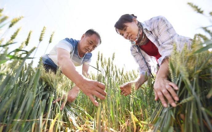 市农业农村局技术人员抢抓农时确保全市80多万亩小麦丰产丰收