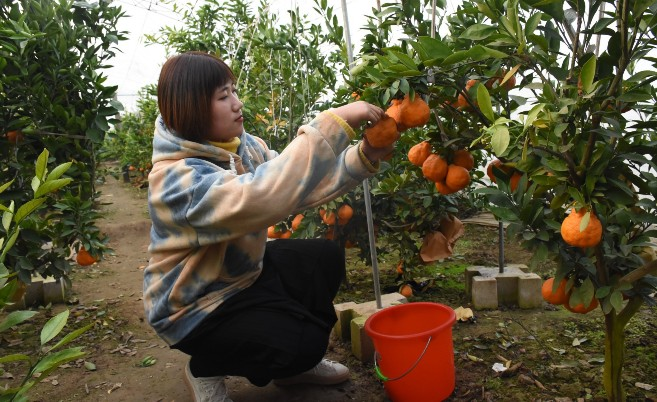 东旺镇前营村兴坤农业发展有限公司的丑橘开始采摘