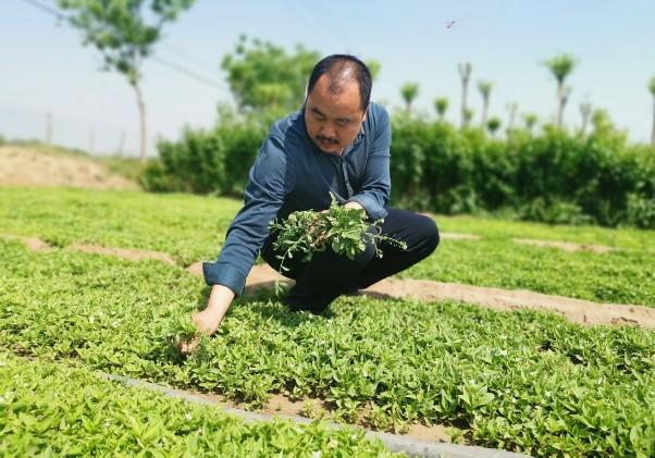东旺镇大力发展中药材种植,种植规模已达10000多亩