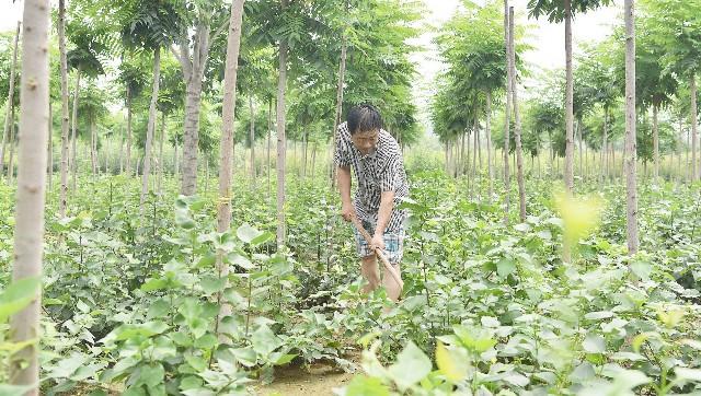 大辛庄镇镇北旺村村民正在林间劳作