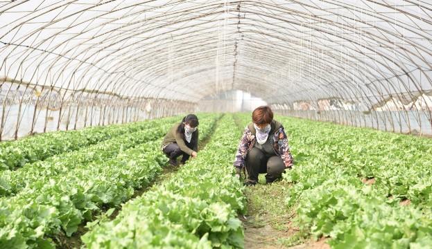 定州市鲜洁农业科技有限公司蔬菜基地带动了周边乡镇5000多农户发展订单蔬菜种植