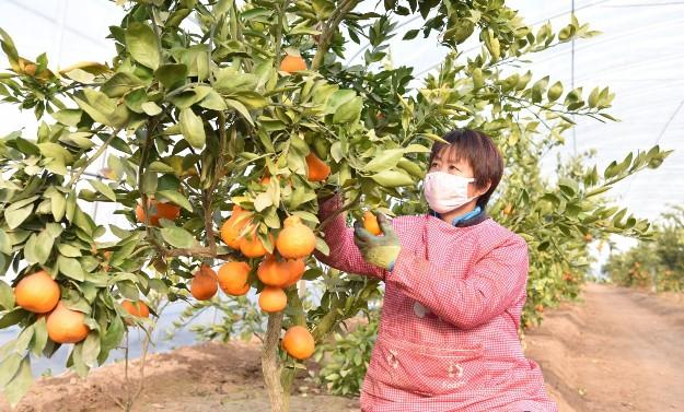 市兴坤农业发展有限公司员工正在查看丑橘生长情况