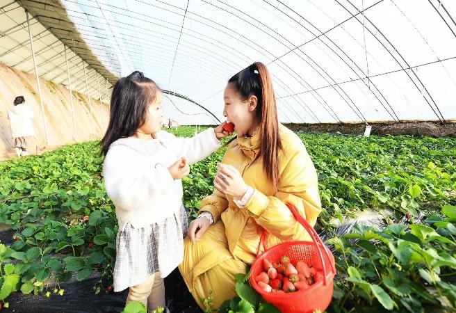 游客在砖路镇张家庄村旺旺观光草莓采摘园享受亲子采摘乐趣