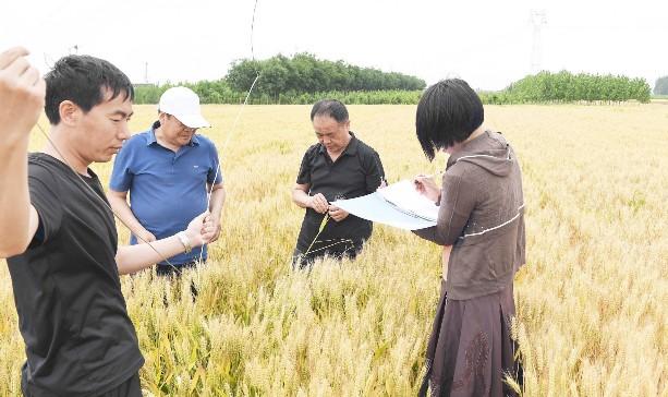 河北光耀农业服务集团有限公司邀请农业技术人员实地测量小麦的亩产量